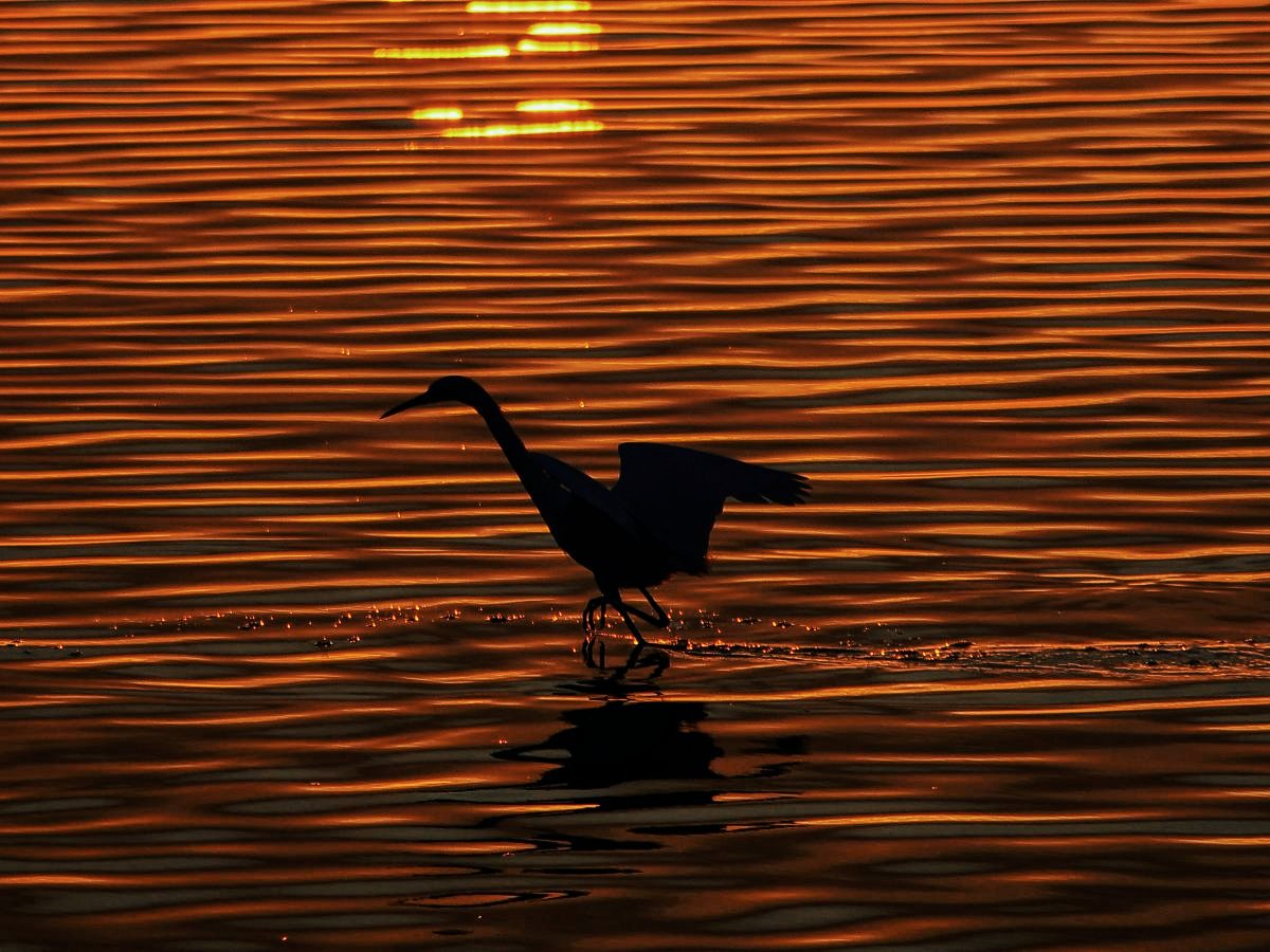Bird at Sunset in St. Joseph Bay